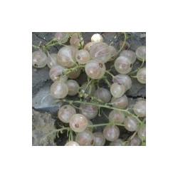 Groseillier 'Versaillaise à Fruits Blan