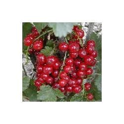 Groseillier 'Versaillaise à Fruits Roug