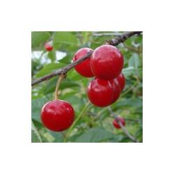 Cerisier 'Montmorency à Longue Queue'