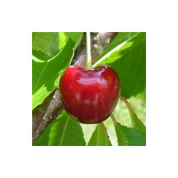 Cerisier 'Bigarreau Reverchon'