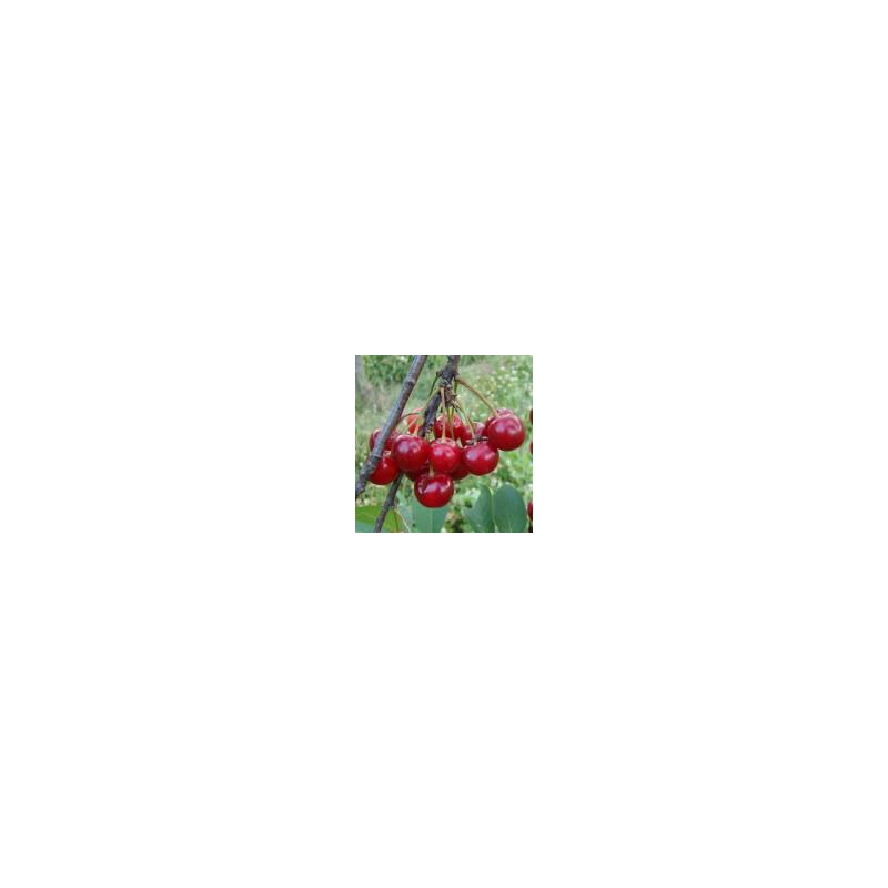 Cerisier 'Griotte Grosse à Ratafia'