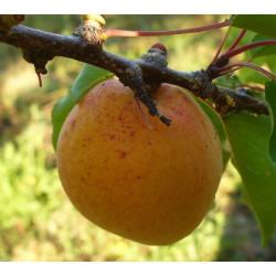 Abricotier 'De Provence'
