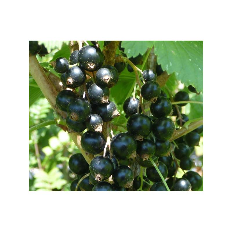 Cassis 'Commun à Fruits Noirs'