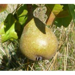 Poirier 'Avocat Tonnelier'