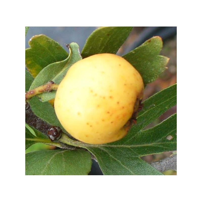 Azerolier 'A Fruit Blanc'