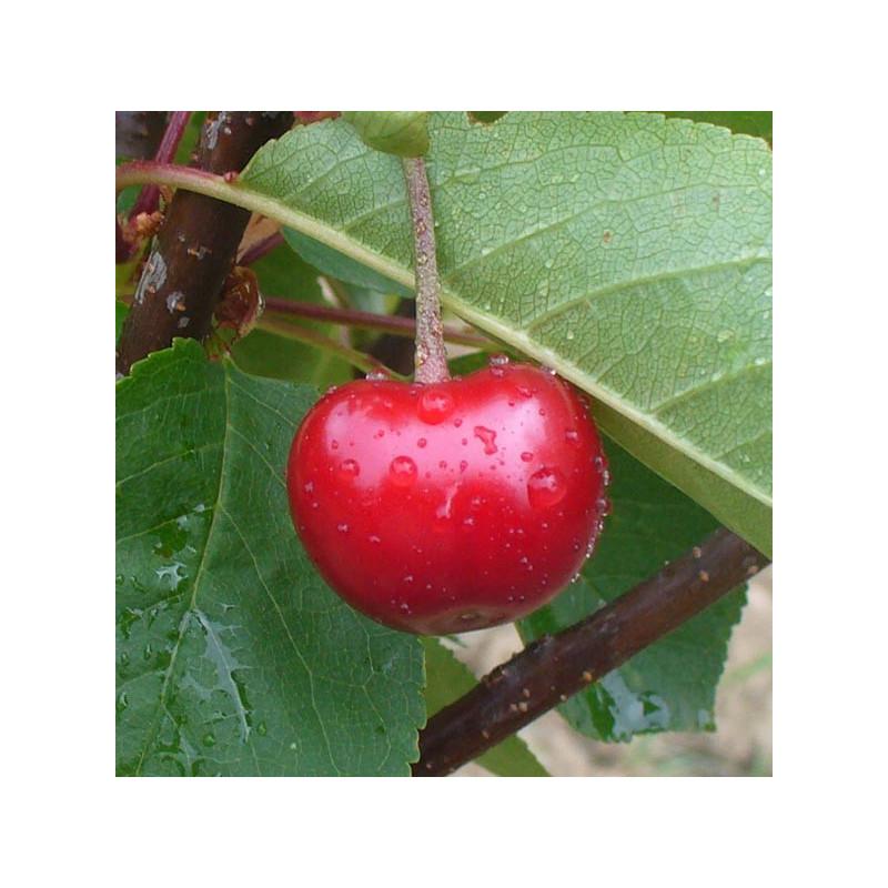 Cerisier 'Griotte Rouge de Piémont'