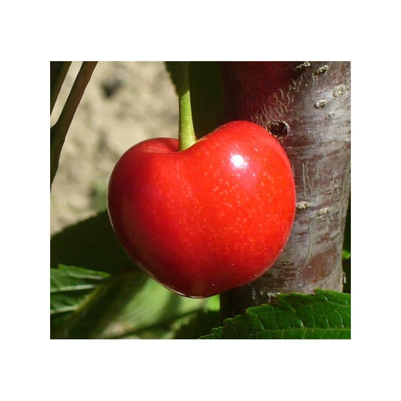 Cerisier 'Bigarreau Pélissier'