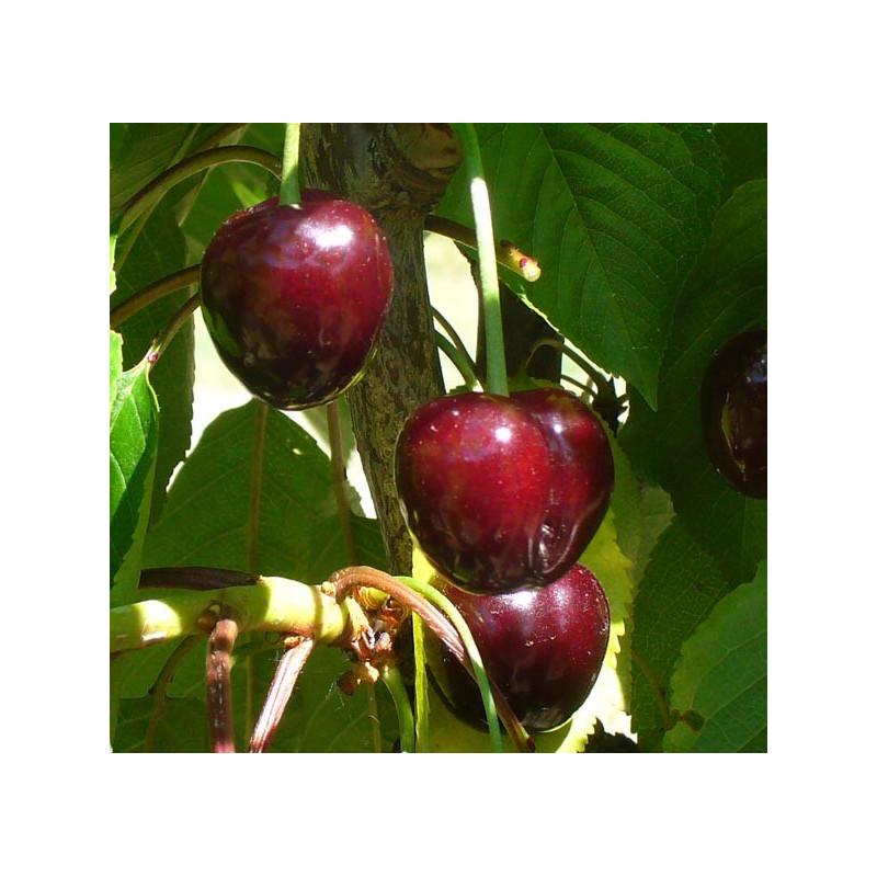 Cerisier 'Bigarreau Jaboulay'