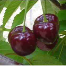 Cerisier 'Guigne Noire Luisante'