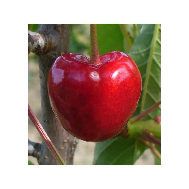 Cerisier 'Bigarreau Tigré'