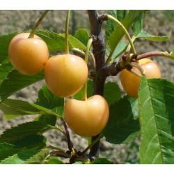 Cerisier 'Bigarreau Donnissen'