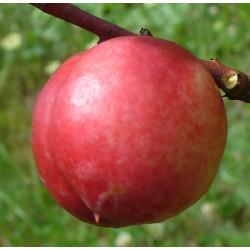 Pêcher 'Nectarine-Cerise'