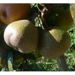 Poirier 'Bergamotte Bufo'