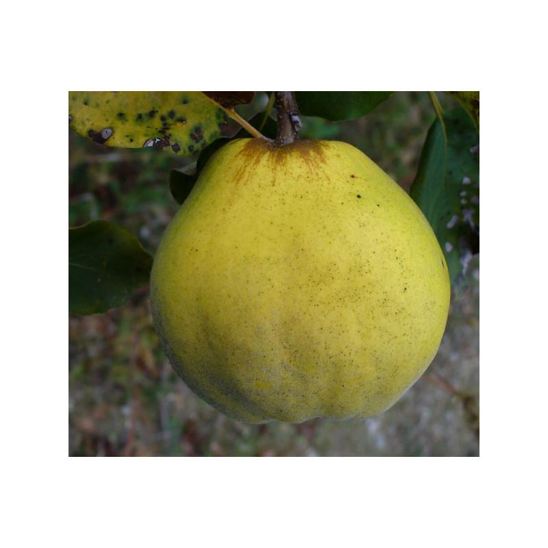 Cognassier 'Commun en Forme de Pomme'