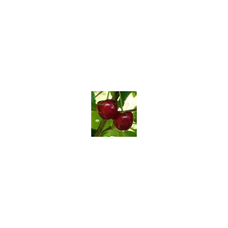 Cerisier 'Hedelfinger Riesen'