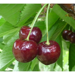 Cerisier 'Bigarreau Baumann'
