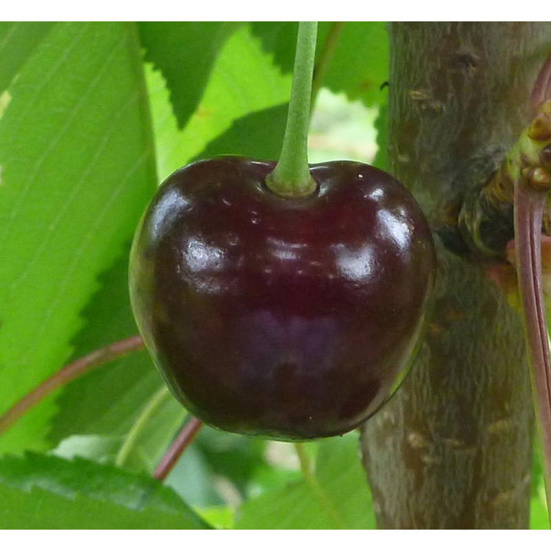 Cerisier 'Bigarreau Grand'