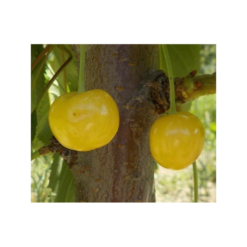 Cerisier 'Bigarreau Gros Blanc'