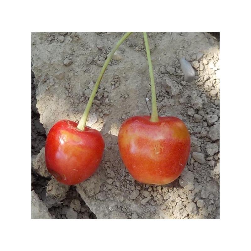 Cerisier 'Elton Heart'