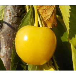 Cerisier 'Bigarreau Stark Gold'
