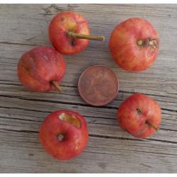 Azerolier 'A Gros Fruit'