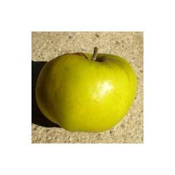 Pommier 'Citron d'Hiver'