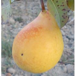 Poirier 'Ananas de Courtrai'