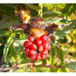 Framboisier-fraise
