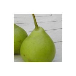 Poirier 'Citron des Carmes'
